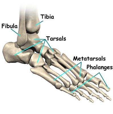 The skelton of a Foot